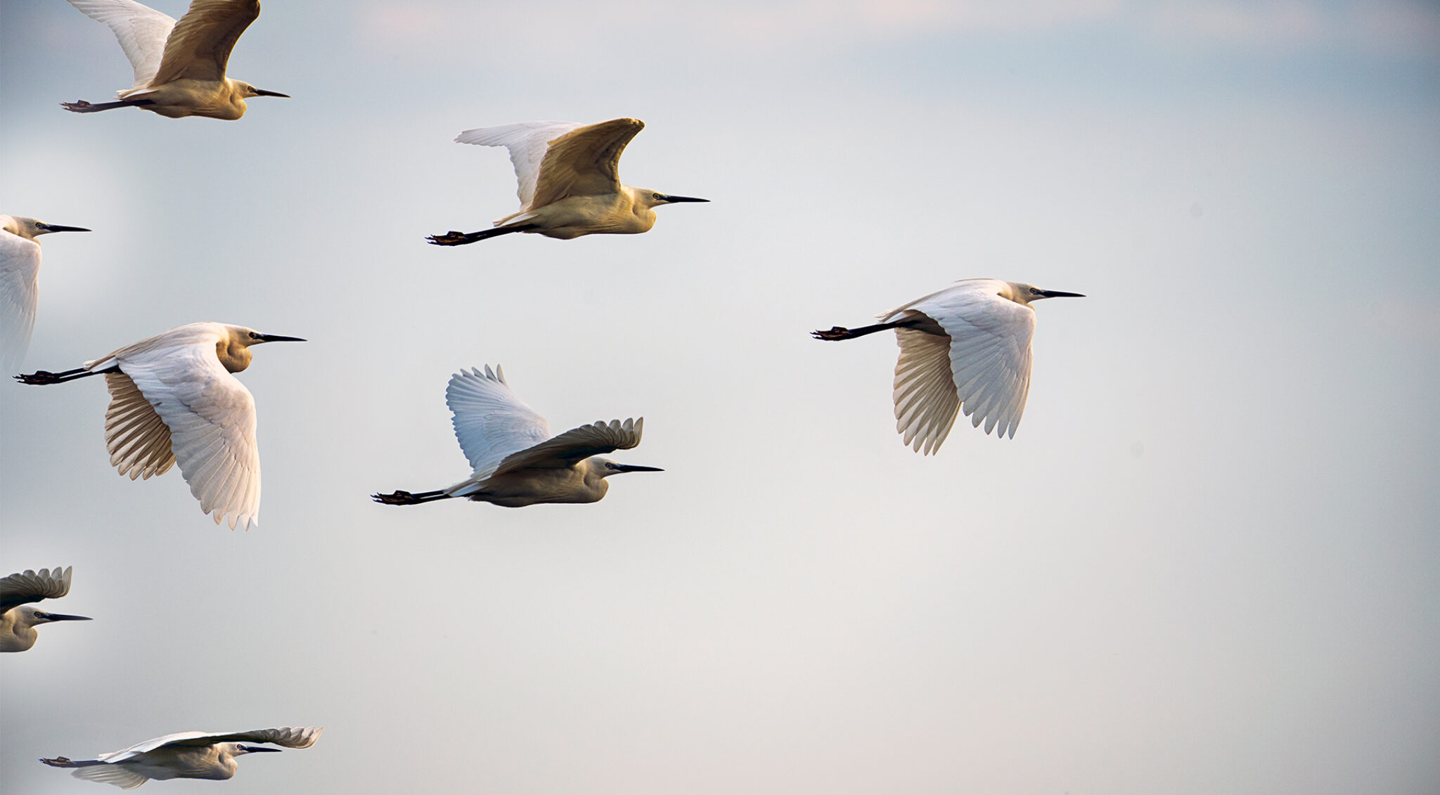 Ein Schwarm weißer Vögel.