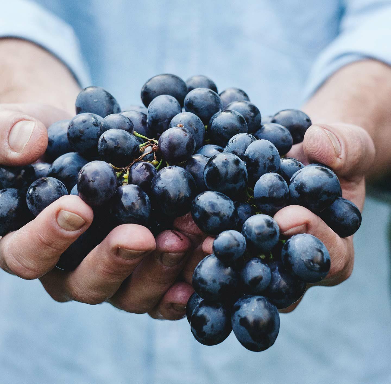 Jemand hält dunkle Weintrauben in den Händen.