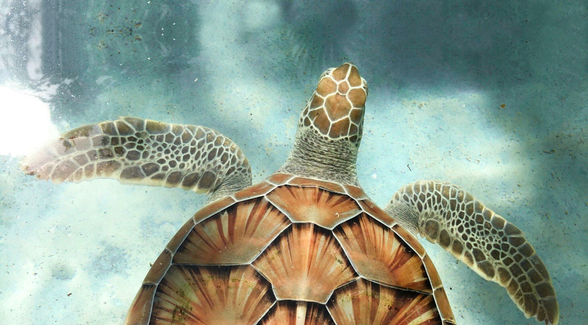 Eine Meeresschildkröte unter Wasser.