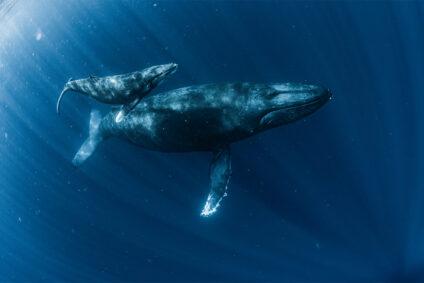 Ein Wal mit seinem Kalb im Meer.