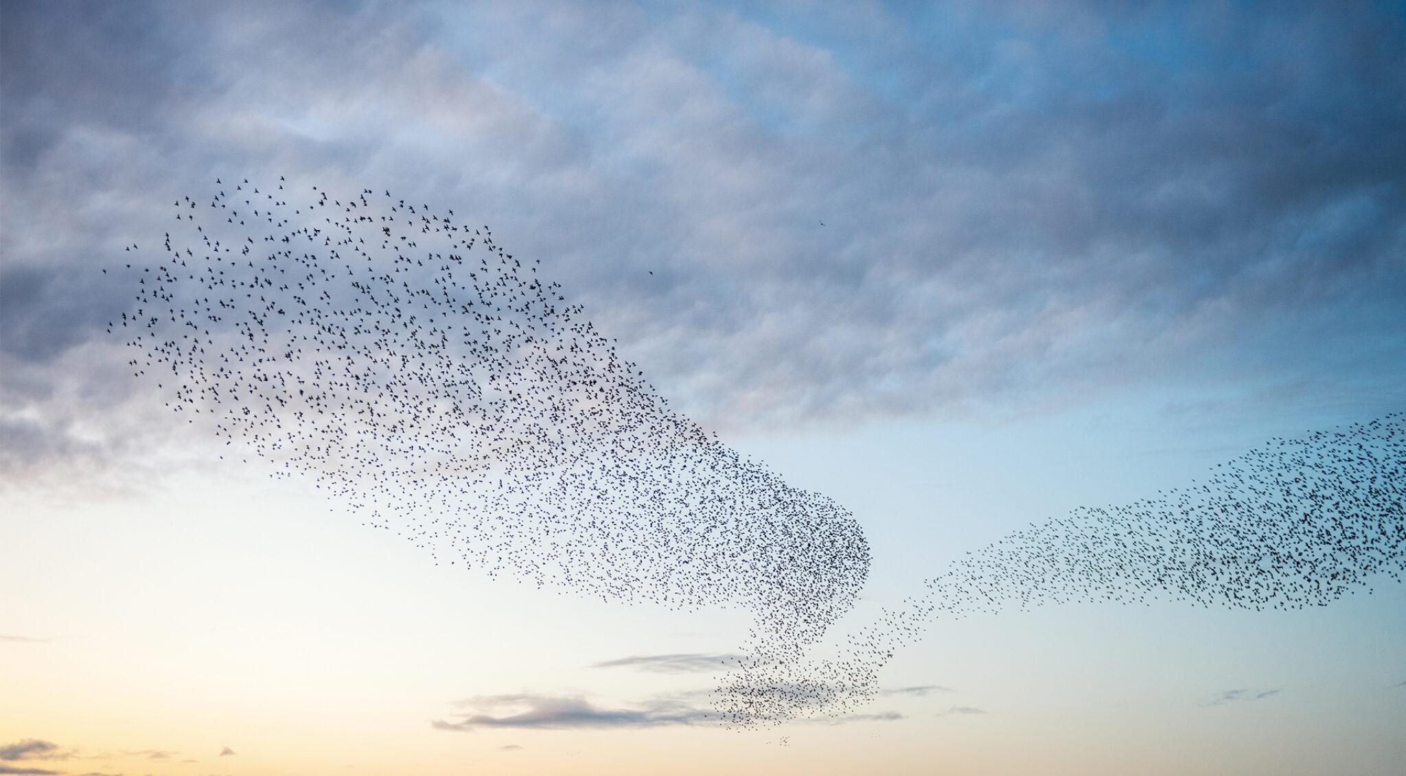 Vogelschwärme bilden schöne Muster am Himmel.