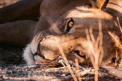 Ruhender Löwe in Namibia