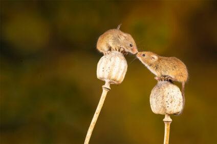 Zwei kleine Mäuse berühren sich mit der Schnauze.